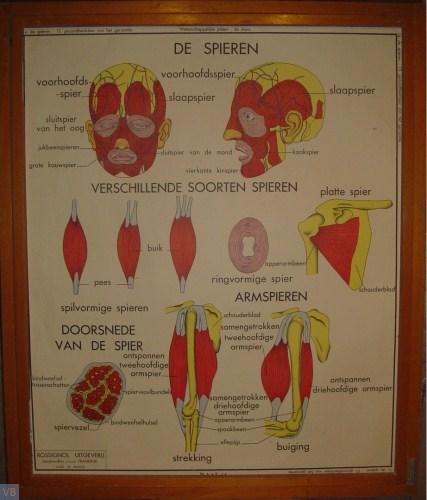 14 - de spieren